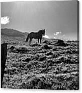 Equine Silhouette Canvas Print