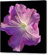Solitary Pink Petunia Canvas Print