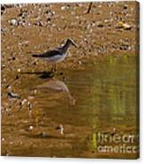 Solitary Sandpiper Canvas Print