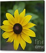 Solo Black-eye Susan Canvas Print
