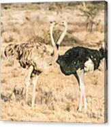 Somali Ostriches Kissing Canvas Print