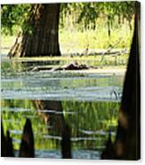 Some Turtles At Radium Springs Creek Canvas Print