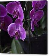 Some Very Beautiful Purple Colored Orchid Flowers Inside The Jurong Bird Park Canvas Print