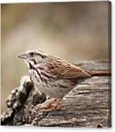 Song Sparrow On Stump Canvas Print