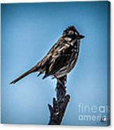 Song Sparrow On Top Of Branch Canvas Print