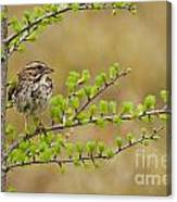 Song Sparrow Pictures 111 Canvas Print