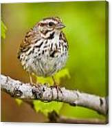 Song Sparrow Pictures 132 Canvas Print