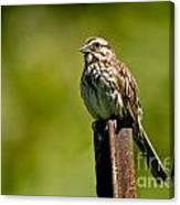 Song Sparrow Pictures 135 Canvas Print