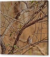 Song Sparrows Canvas Print