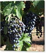 Sonoma Vineyards In The Sonoma California Wine Country 5d24630 Square Canvas Print