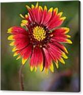Sonoran Blanket Flower Canvas Print