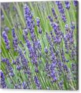 Soothing Lavender Canvas Print