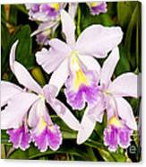 Sophronitis Orchid Canvas Print