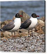 Mr. And Mrs. Laughing Gull  Canvas Print