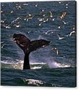 Sounding Humpback Canvas Print