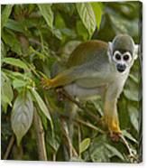 South American Squirrel Monkey Amazonia Canvas Print