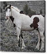 South Steens Wild Stallion Canvas Print
