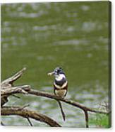 Southeastern Kingfisher Canvas Print