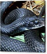 Southern Black Racer Coluber Priapus Canvas Print