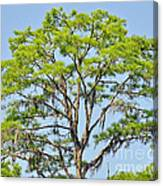 Southern Cypress Canvas Print