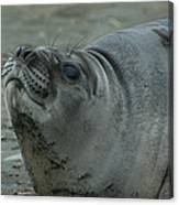 Southern Elephant Seal Canvas Print