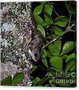 Southern Flying Squirrel Canvas Print