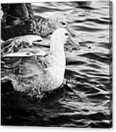 southern giant petrels in port lockroy Antarctica Canvas Print