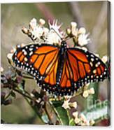 Southern Monarch Butterfly Canvas Print