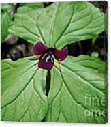 Southern Red Trillium Canvas Print