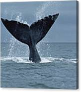 Southern Right Whale Fluke Argentina Canvas Print
