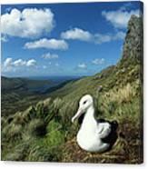 Southern Royal Albatross Canvas Print