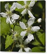 Southern Sawtooth Highbush Blackberry Blossoms - Rubus Argutus Canvas Print