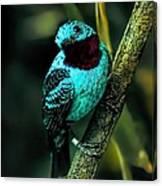 Spangled Cotinga Turquoise Bird Canvas Print