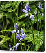 Spanish Bluebells Canvas Print