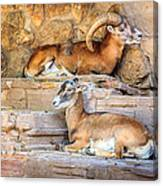Spanish Ibex Canvas Print