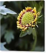 Spark Gaillardia Flower Bud Canvas Print