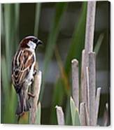 Sparrow In Reeds Canvas Print