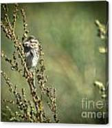 Sparrow In The Weeds Canvas Print