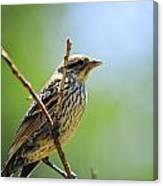Sparrow On A Branch Canvas Print
