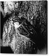 Sparrow On A Tree Canvas Print