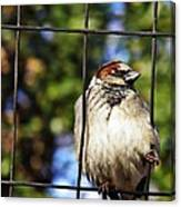 Sparrow On A Wire Fence Canvas Print