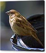 Sparrow Sentry Canvas Print
