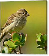 Sparrow Song 5 Canvas Print