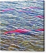 Spawning Salmon In Moraine River In Katmai National Preserve-ak Canvas Print