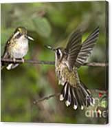 Speckled Hummingbirds Canvas Print