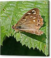 Speckled Wood Butterfly Canvas Print