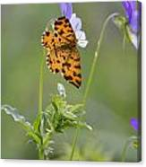Speckled Yellow Moth On Pansy Wild Flower Canvas Print