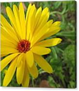 Speckless Yellow African Daisy Canvas Print