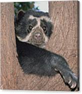 Spectacled Bear In Andean Foothills Peru Canvas Print