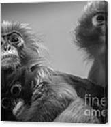 Spectacled Langur Family Canvas Print